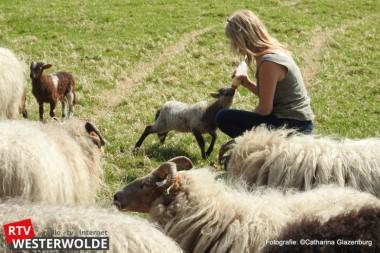 Drents Heideschaap voelt zich prima thuis in Vriescheloo